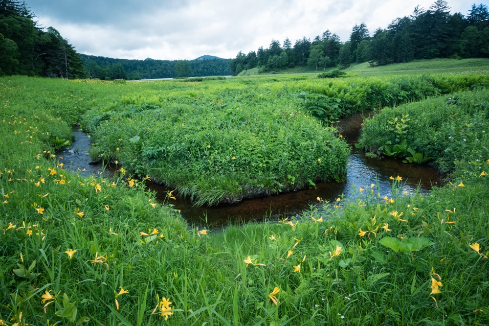 【尾瀬沼 ハイキングと写真】一面ニッコウキスゲ畑と、ワタスゲ(7月中旬)