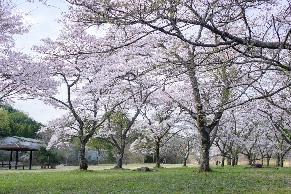 【今市 小百川桜公園】4月上旬頃〜 サクラ咲く