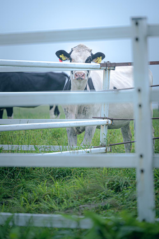 【日光 霧降高原】牛にあいさつ