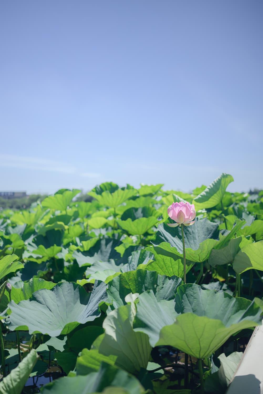 【館林 城沼ハス祭】たとえハスが少ない時期でもハス祭